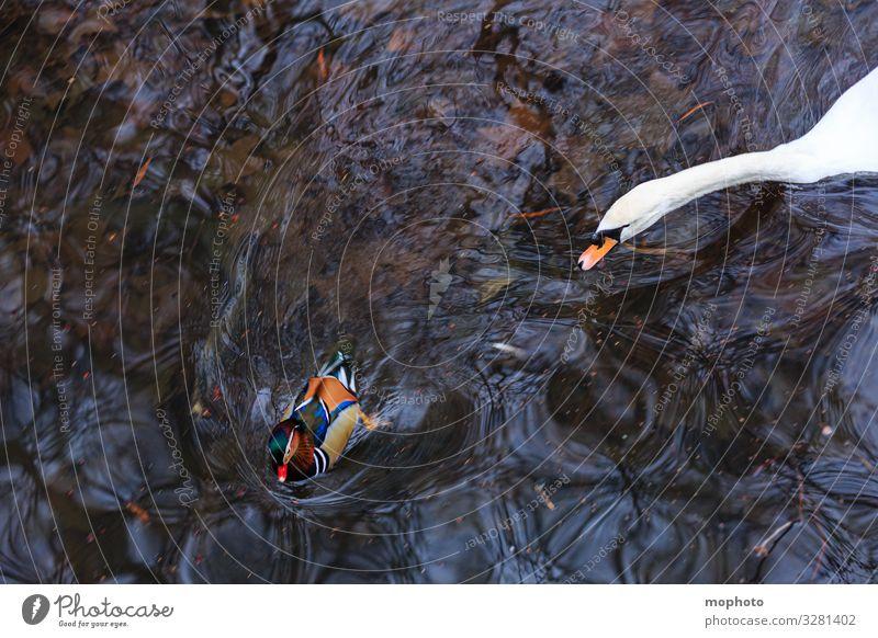 Entenjagd Jagd Natur Tier Wasser Herbst Park Teich Wildtier Vogel Schwan Zoo 2 kämpfen Schwimmen & Baden Aggression exotisch maritim natürlich wild Tierliebe