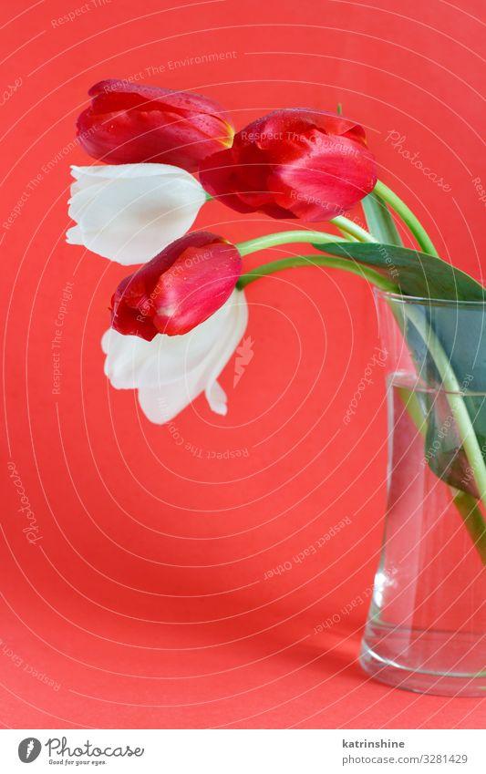 Weiße und rote Tulpen auf rotem Hintergrund Valentinstag Muttertag Ostern Geburtstag Erwachsene Frühling Blume Blüte Blumenstrauß Liebe hell trendy weiß