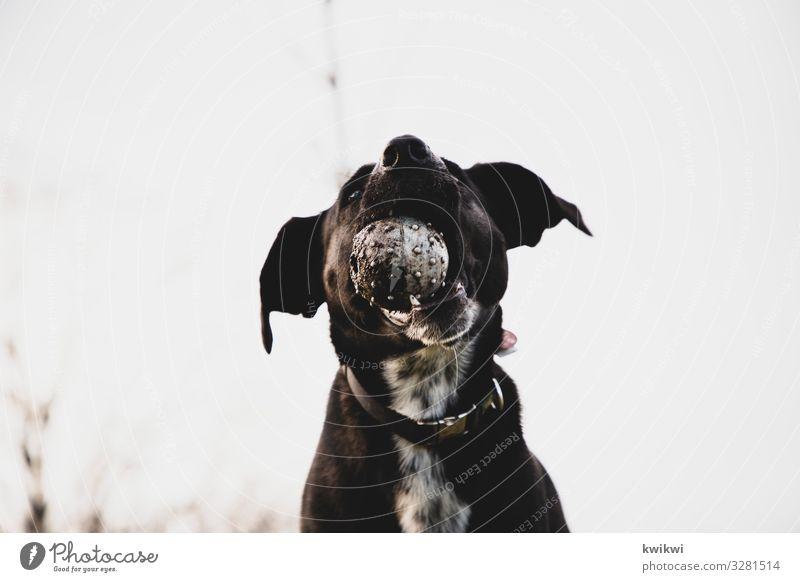 Hund mit Ball I Ferien & Urlaub & Reisen Tier Freude schwarz Essen grau Freizeit & Hobby wandern verrückt Nase Punkt Ohr Fressen frech