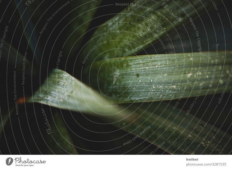 Norddeutsche Palme Natur Pflanze Blume Sträucher Kaktus Blatt Grünpflanze Wildpflanze Topfpflanze exotisch Garten grün Palmenwedel Blattgrün Pflanzenteile