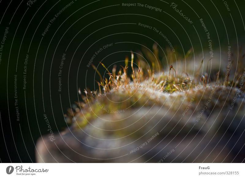 Moosleuchten Natur Frühling Pflanze Schwache Tiefenschärfe filigran Moosblüten erleuchten Farbfoto Außenaufnahme Textfreiraum links Tag Lichterscheinung
