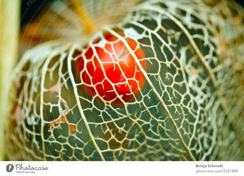 Eine verwittere Blüte einer Lampionblume (Physalis) Natur alt Pflanze schön rot Winter Herbst natürlich Garten orange Stimmung Design Dekoration & Verzierung