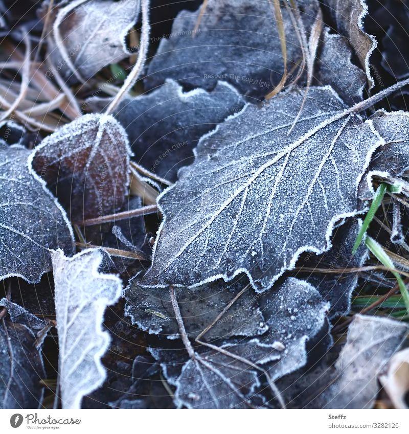 Kältestress Umwelt Natur Winter Klima Wetter Eis Frost Pflanze Blatt Deutschland Europa frieren kalt schön Winterstimmung Bodenfrost Raureif blau-grau gefroren