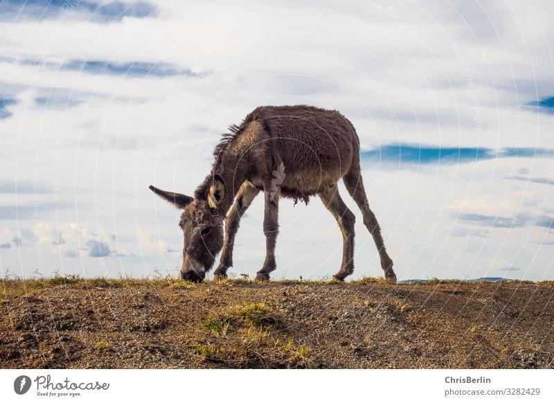 genügsamer Esel Ferne Freiheit Natur Landschaft Erde Himmel Wolken Feld Hügel Nutztier 1 Tier beobachten Fressen Coolness Zufriedenheit Gelassenheit