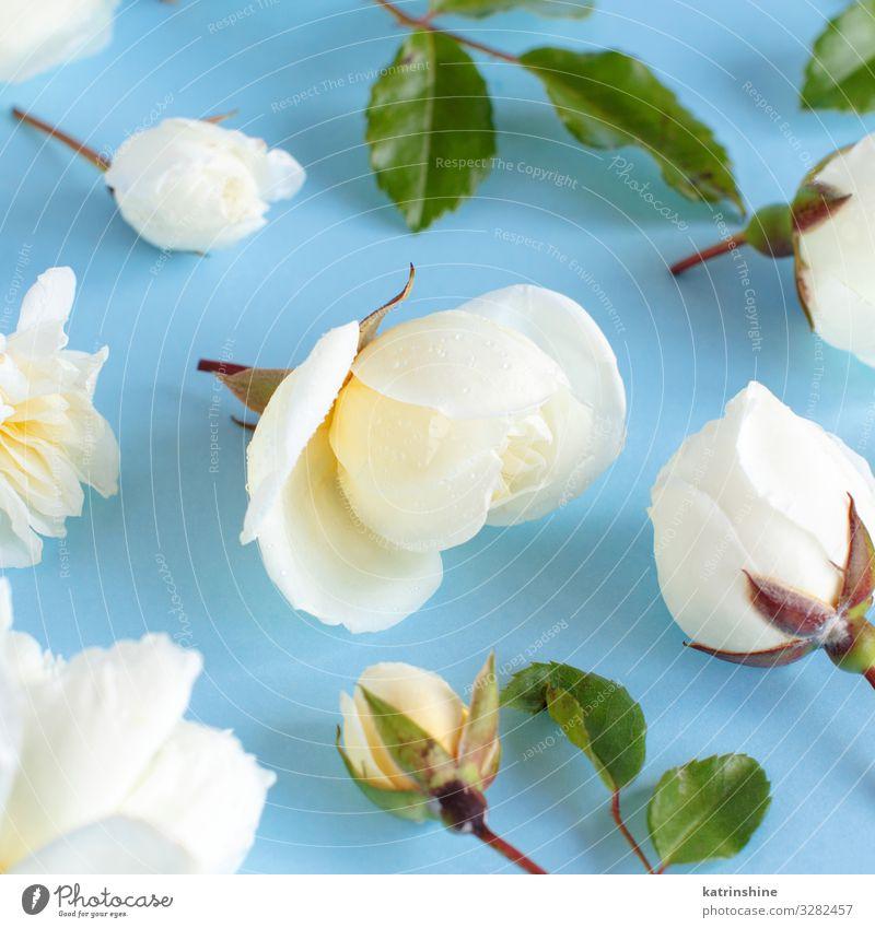 Rosen auf hellblauem Hintergrund Design Dekoration & Verzierung Hochzeit Frau Erwachsene Mutter Blume weiß hell-blau romantisch geblümt Feiertag März Pastell