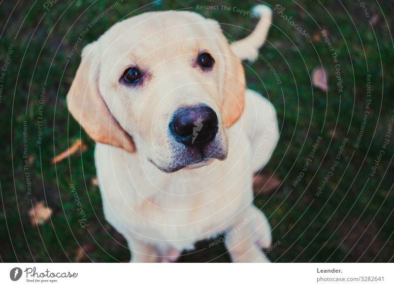 kleiner Hund Garten Wiese Haustier 1 Tier niedlich oben gold weiß Labrador weißhaarig Welpe sitzen schön Farbfoto Außenaufnahme Menschenleer Textfreiraum links