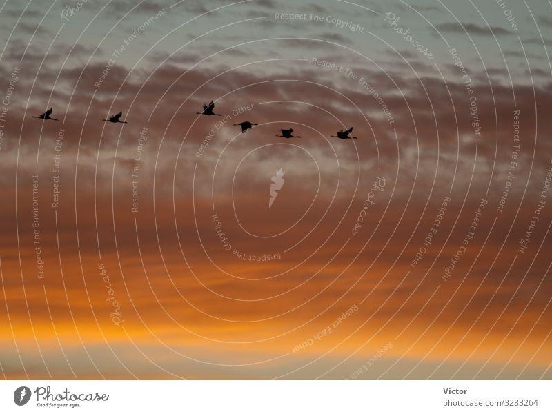 Kraniche (Grus grus) im Flug in der Morgendämmerung. Bello. Teruel. Aragón. Spanien. Natur Tier Himmel Wolken Vogel fliegen natürlich wild gold Farbe Tiere