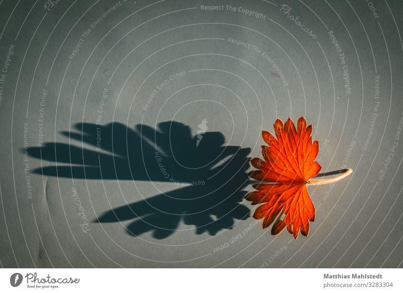 Blatt mit Schatten Umwelt Natur Pflanze Herbst leuchten verblüht dehydrieren außergewöhnlich natürlich orange rot Verfall Vergänglichkeit Farbfoto mehrfarbig