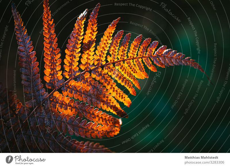 Farn Umwelt Natur Pflanze Blatt Farnblatt leuchten verblüht dehydrieren natürlich gold grün rot Verfall Vergänglichkeit Farbfoto Gedeckte Farben Außenaufnahme