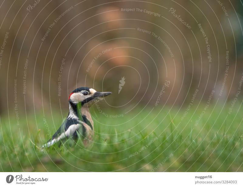 Buntspecht im Gras Umwelt Natur Pflanze Tier Frühling Sommer Herbst Schönes Wetter Wiese Garten Park Wald Wildtier Vogel Tiergesicht Flügel 1 ästhetisch