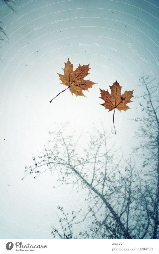 Fallstudie Umwelt Natur Pflanze Himmel Herbst Wetter Regen Blatt Ahorn Ahornblatt Zweige u. Äste PKW Autodach Glas Zusammensein nass Vergänglichkeit Blattadern