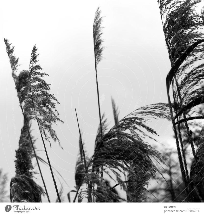 Gräser am See Umwelt Natur Pflanze Himmel Herbst Winter Gras Grünpflanze Schilfrohr Schilfgras Küste Seeufer Bewegung Blühend Wachstum ästhetisch authentisch