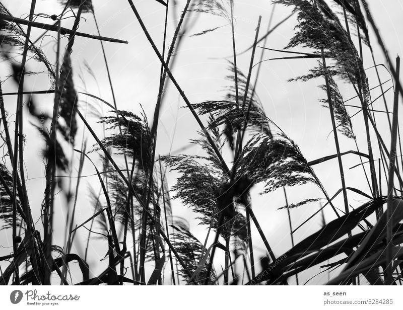 Schilf am Ufer Umwelt Natur Landschaft Luft Herbst Winter Wetter Wind Pflanze Blüte Grünpflanze Schilfrohr Gras Seeufer Bewegung Blühend ästhetisch dünn