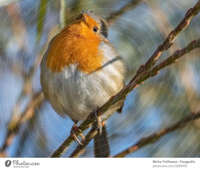 Neugieriges Rotkehlchen Natur Tier Himmel Sonne Sonnenlicht Schönes Wetter Baum Zweige u. Äste Wildtier Vogel Tiergesicht Flügel Krallen Kopf Auge Schnabel