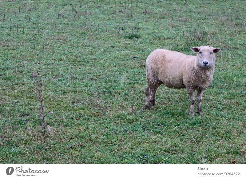 Schaf steht und guckt. Umwelt Natur Landschaft Herbst Winter Wiese Weide Tier Nutztier beobachten Denken Freundlichkeit natürlich Neugier niedlich Tierliebe