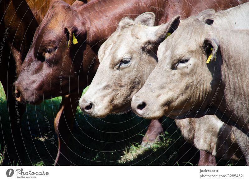 flotter Dreier Landwirtschaft Viehweide Müritz Nutztier Kuh 3 Tier Schilder & Markierungen authentisch Gesundheit braun Gefühle Vertrauen Zusammensein