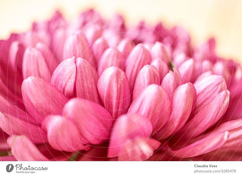 Chrysantheme rosa Natur Pflanze Blüte Chrysabtheme Stimmung Glück Frühlingsgefühle Sicherheit Schutz Geborgenheit Sympathie Freundschaft Leben Blütenkelch