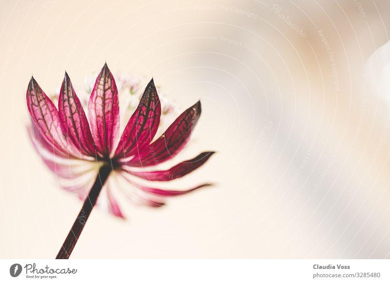astranta major- Sternendolde Natur Pflanze Blume Blüte Doldenblüte ästhetisch außergewöhnlich fantastisch Glück hell natürlich Neugier Gefühle Stimmung