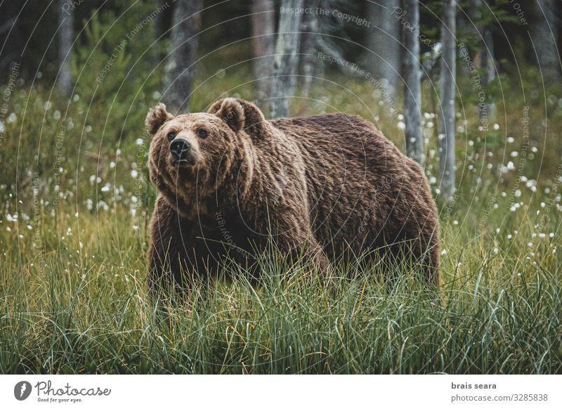 Braunbär Jagd Freiheit Erwachsene Umwelt Natur Landschaft Tier Erde Klimawandel Wetter Baum Wald Pelzmantel Wildtier 1 laufen bedrohlich groß natürlich stark