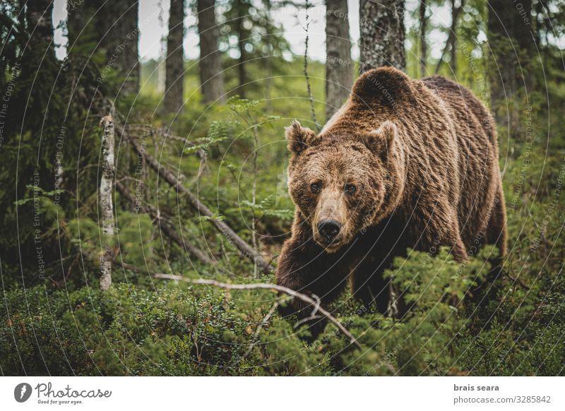 Braunbär auf Waldwegen Jagd Freiheit Erwachsene Umwelt Natur Landschaft Tier Erde Klimawandel Wetter Baum Pelzmantel Wildtier 1 laufen bedrohlich groß natürlich