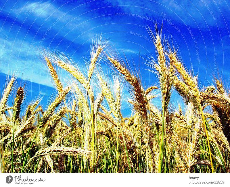 Kornhimmel Natur Himmel blau Sommer Feld Kornfeld Ähren