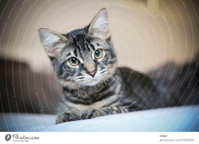 Kleine Katze mit fragendem Blick Tier Tiergesicht Maine-coon 1 Tierjunges authentisch klein nerdig niedlich Tigerfellmuster Fragen Farbfoto Innenaufnahme