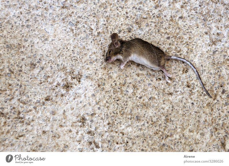 Gastgeschenk Terrasse Totes Tier Maus 1 liegen gruselig klein braun grau Traurigkeit Trauer Tod Natur Vergänglichkeit Pechvogel Farbfoto Außenaufnahme