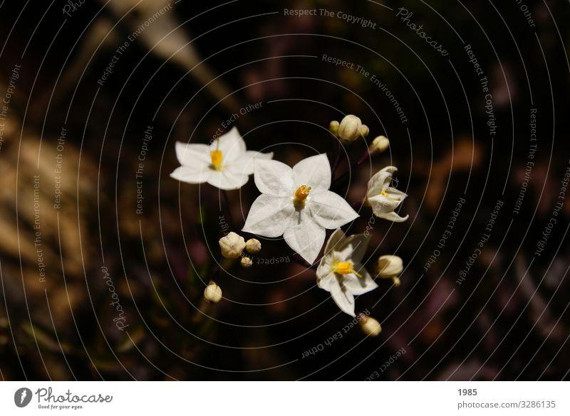 Jasminblütiger Nachtschatten Freizeit & Hobby Garten Pflanze Herbst Schönes Wetter Blume Blüte Grünpflanze Topfpflanze Solanum laxum Nachtschattengewächse