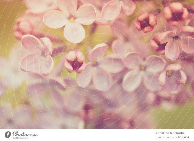Flieder Blüten Makroaufnahme rosa violett Fliederblüte Natur blühend Frühling Muttertag Fliederblüten Fliedermakro Pflanze Sträucher Schwache Tiefenschärfe