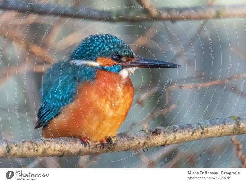 Eisvogel auf einem Ast Umwelt Natur Tier Sonne Sonnenlicht Schönes Wetter Baum Zweige u. Äste Flussufer Wildtier Vogel Tiergesicht Flügel Krallen Eisvögel