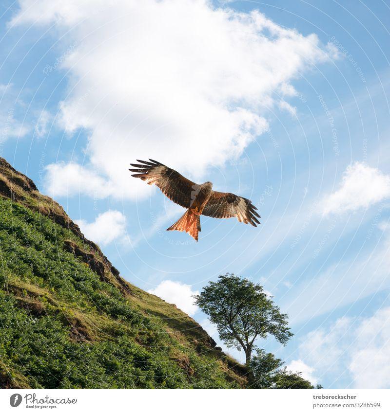 Roter Drachen vor grünem Hügel schön Jagd Freiheit Natur Tier Himmel Wolken Baum Gras Vogel Flügel fliegen groß natürlich Geschwindigkeit wild blau braun rot