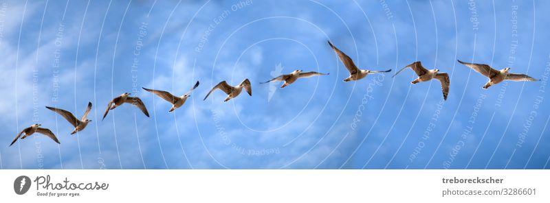 Vogelflugstudie einer Seemöwe elegant schön Freiheit Meer Natur Tier Luft Himmel Wolken Küste Wildtier Flügel Tiergruppe fliegen frei Geschwindigkeit wild blau