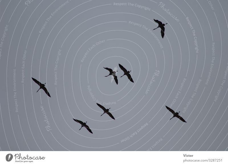 Kraniche (Grus grus) im Flug. Naturschutzgebiet der Lagune von Gallocanta. Aragonien. Spanien. Tier Himmel Vogel fliegen natürlich wild Tiere aragonisch