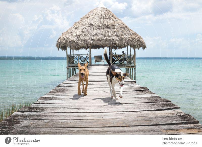 Two dogs running from a wooden pier, El Remate, Peten, Guatemala Erholung Ferien & Urlaub & Reisen Abenteuer Ferne Freiheit Sommer Sonne Mensch