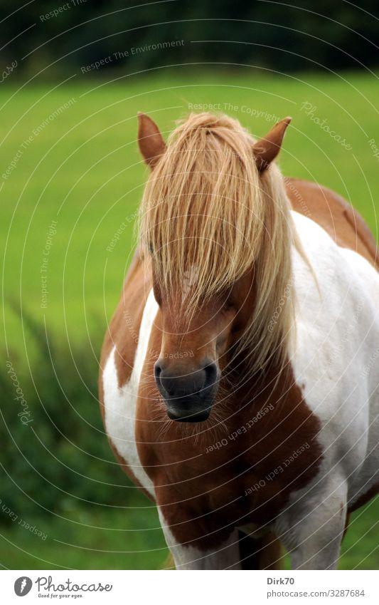 Islandpony-Porträt Sommer schön Baum Tier ruhig Wald lustig Wiese Gras Haare & Frisuren stehen Fröhlichkeit Sträucher einzigartig niedlich Pferd