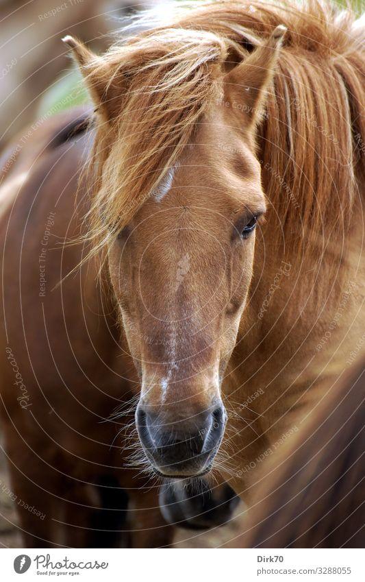 Pferdeportrait Reiten Reitsport Natur Luft Sonnenlicht Sommer Schönes Wetter Wind Weide Dänemark Jütland Tier Haustier Nutztier Tiergesicht Pony Island Ponys