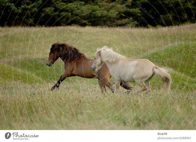 Islandponys auf der Weide Reitsport Landwirtschaft Forstwirtschaft Umwelt Natur Sommer Gras Wiese Wald Düne Hügel Dänemark Jütland Menschenleer Tier Haustier