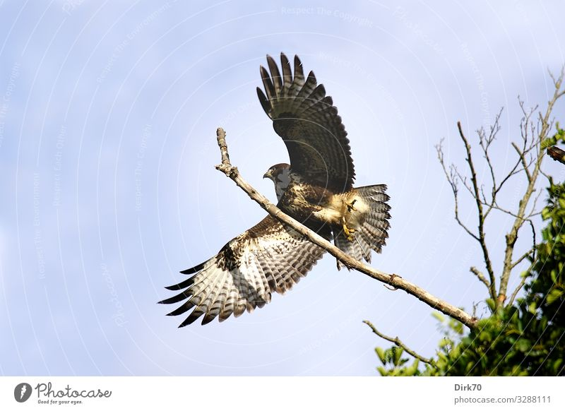 Bussard beim Start Umwelt Natur Himmel Frühling Schönes Wetter Baum Ast Wald Bremen Tier Wildtier Vogel Flügel Greifvogel Mäusebussard 1 fliegen Jagd ästhetisch