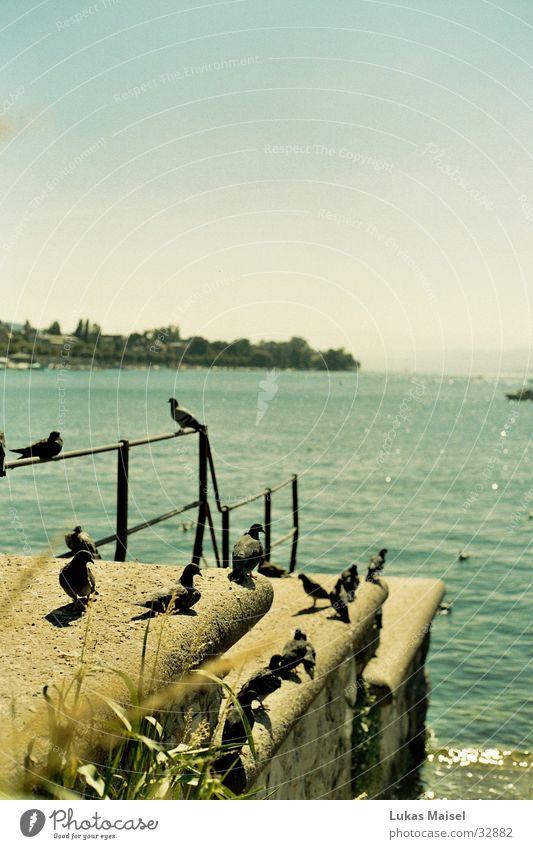 Tauben Vogel See Physik Sommer Landschaft Aussicht Wärme