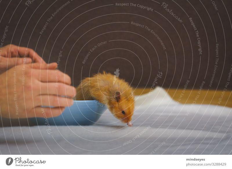 Ein Hamster haut ab Freizeit & Hobby Wohnung Hand Haustier 1 Tier Schalen & Schüsseln rennen Bewegung entdecken fangen festhalten füttern laufen authentisch