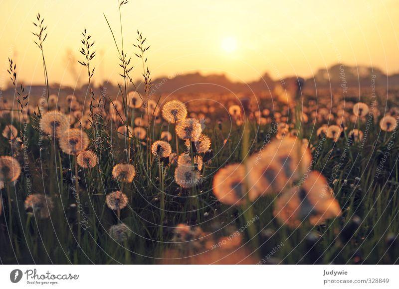 Pusteblumenmeer II Umwelt Natur Landschaft Pflanze Sonne Sonnenaufgang Sonnenuntergang Sonnenlicht Sommer Schönes Wetter Grünpflanze Löwenzahn Löwenzahnfeld