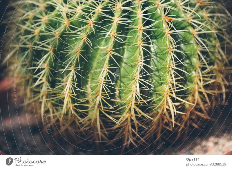 Mein kleiner grüner Kaktus Sommer Pflanze braun Spitze stachelig Grünpflanze