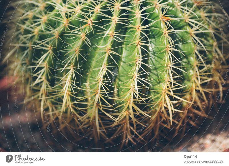 Mein kleiner grüner Kaktus Sommer Pflanze Grünpflanze Spitze stachelig braun Farbfoto Außenaufnahme Nahaufnahme Detailaufnahme Makroaufnahme Menschenleer