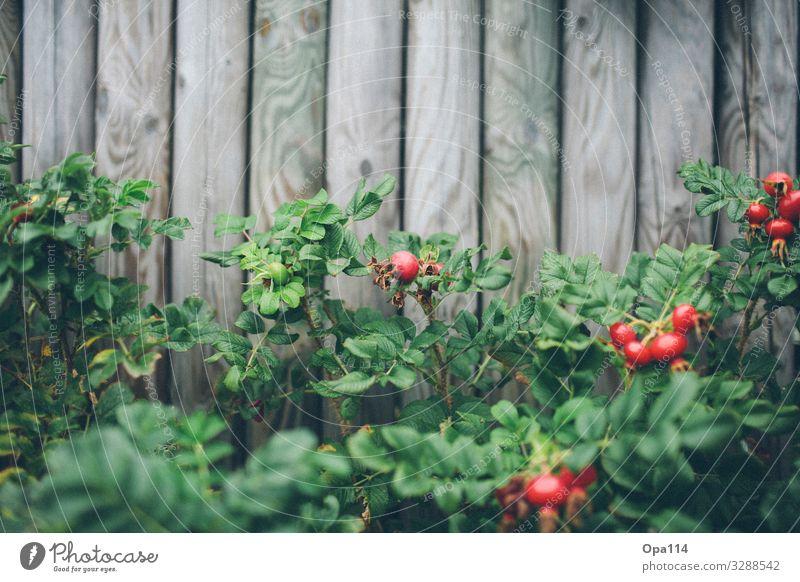 """Apfelrose Sommer Pflanze Blume Rose Grünpflanze Holz Blühend Wachstum warten grau grün rot spitz stachelig """"Apfelrose Hagebutte Syltrose"""" Farbfoto Außenaufnahme"""