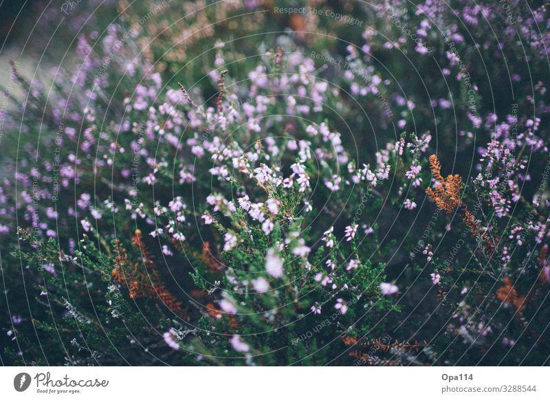 """Besenheide Umwelt Natur Pflanze Tier Sommer Grünpflanze Nordsee Insel Blühend verblüht grün violett rosa """"Sylt Heidekraut"""" Farbfoto Außenaufnahme Nahaufnahme"""