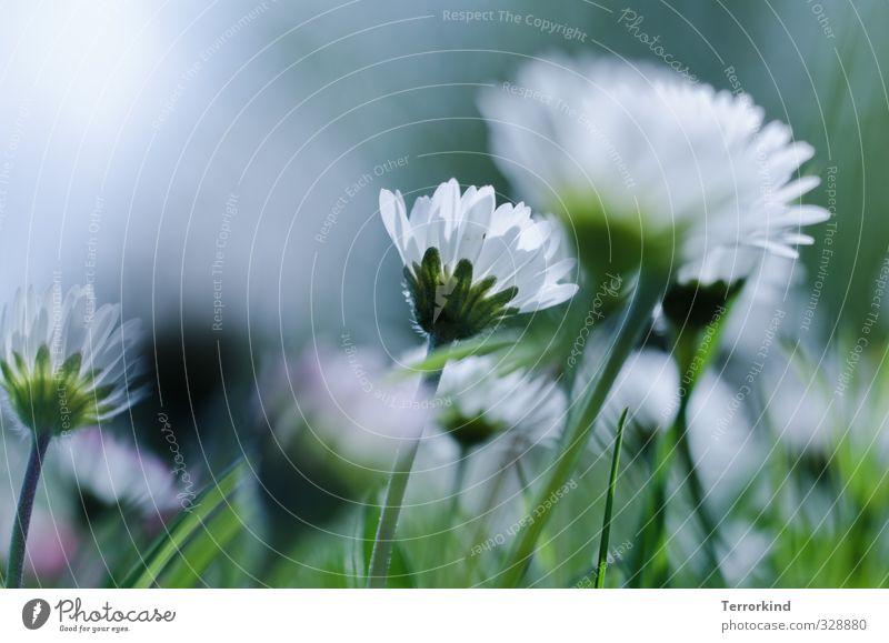 Hiddensee | sonnen.schirm. Himmel Natur grün weiß Pflanze Leben Blüte rosa Wachstum Gänseblümchen Blütenblatt gedeihen