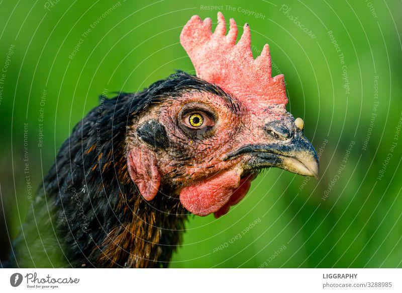 Das wilde Huhn. Frühstück Natur Tier Haustier Tiergesicht 1 Stress Haushuhn Hähnchen Hühnervögel Essen Ei weichgekocht Garten Freilandhaltung Ostern Protein