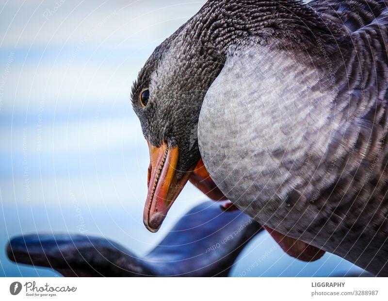 Eine Ente in Hamburg. Tier Wildtier Vogel Flügel 1 Wasser Schwimmen & Baden fangen rennen Aggression Angst Hafen Natur lecker Teich See Sommer Farbfoto