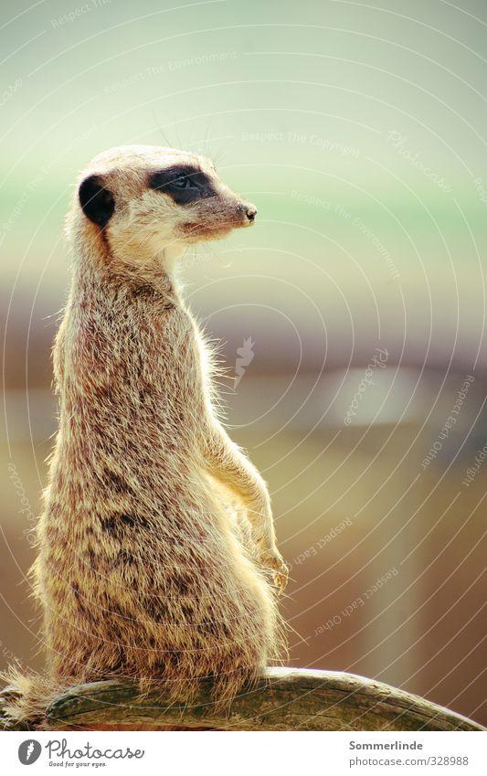 Hat jemand Pumba gesehen? Umwelt Natur Landschaft Luft Himmel Wolken Horizont Sommer Schönes Wetter Wüste Wildtier Fell Krallen Zoo Erdmännchen 1 Tier