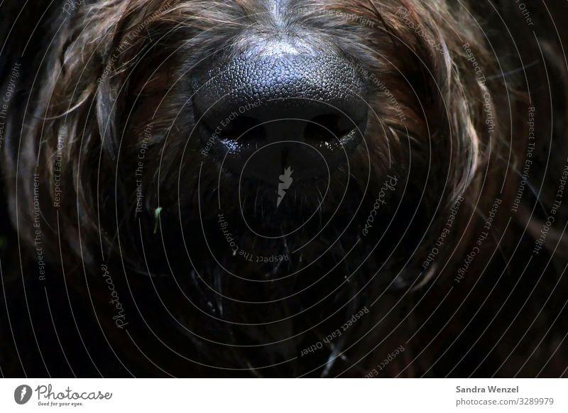Ellis Nase.. Hund Fell 1 Tier wandern braun Geruch spürhund Goldendudel Pudel Farbfoto Detailaufnahme Menschenleer Blick nach vorn